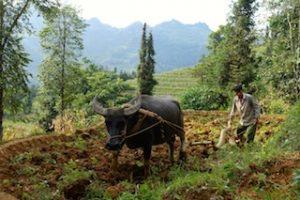 Une scène d labour dans les provinces du nord Vietnam sous la chine