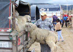Moutons sur le marché de Saquisili